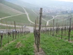 Vineyards on the Wuttemberg (Stuttgart)
