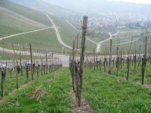 Vineyards on the Wuttemberg (Stuttgart)